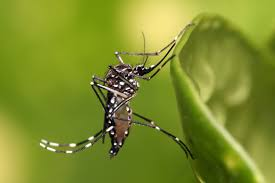 aedes-aegypt